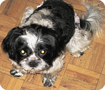 Shih Tzu Mix Puppy for adoption in Gilbert, Arizona - Cassi