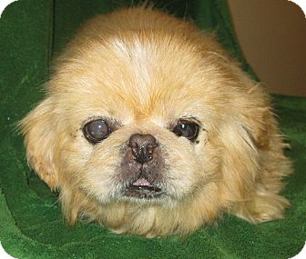 Pekingese Dog for adoption in Prole, Iowa - Quincy
