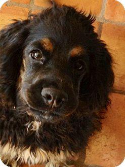Cocker Spaniel Dog for adoption in Scottsdale, Arizona - Chase
