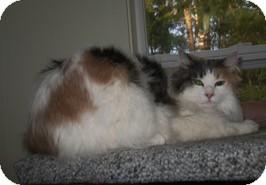 Domestic Longhair Cat for adoption in Shelton, Washington - Princess