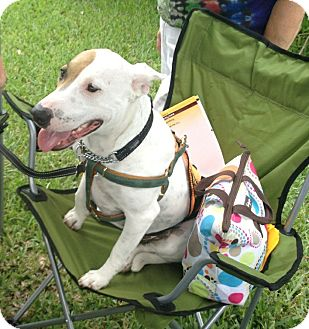American Bulldog/Bull Terrier Mix Dog for adoption in Homestead, Florida - Mrs. Spot