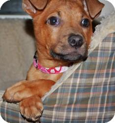 Rhodesian Ridgeback/Boxer Mix Puppy for adoption in LEXINGTON, Kentucky - Freely