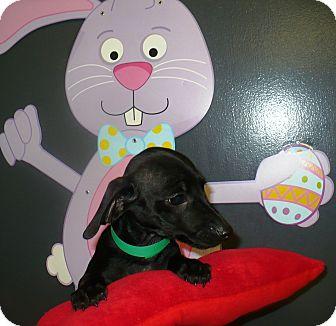 Dachshund Mix Puppy for adoption in Eastpoint, Florida - Todd