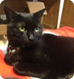 Domestic Mediumhair Cat for adoption in Cleveland, Ohio - Sylvia