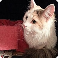 Calico Cat for adoption in St. Louis, Missouri - Paige