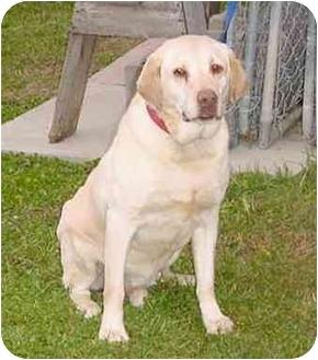 Labrador Retriever Dog for adoption in Austin, Minnesota - Ollie