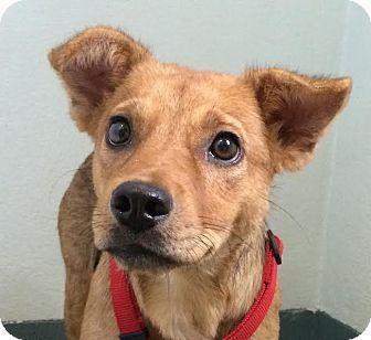 Terrier (Unknown Type, Medium) Mix Puppy for adoption in Gainesville, Florida - Merida