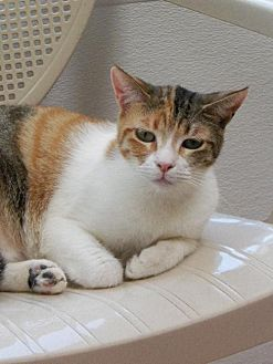Calico Cat for adoption in Spring Valley, California - Petal