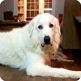Great Pyrenees Dog for adoption in Austin, Texas - Harlow