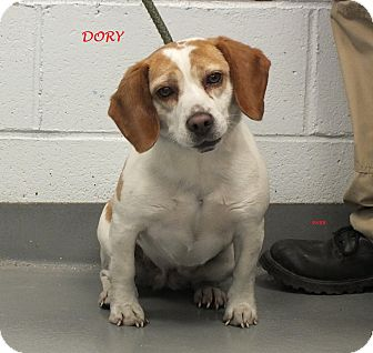 Beagle Dog for adoption in Ventnor City, New Jersey - DORY