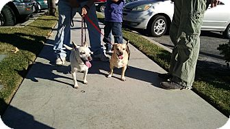 Beagle/Terrier (Unknown Type, Small) Mix Dog for adoption in San Dimas, California - Auggie