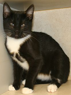Domestic Shorthair Cat for adoption in Salisbury, North Carolina - Hughes