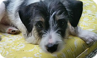 Jack Russell Terrier/Schnauzer (Miniature) Mix Puppy for adoption in Houston, Texas - Puppy Hoagie In Houston