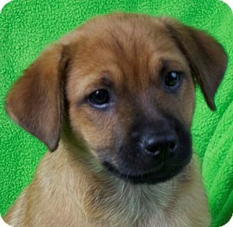 Pug/Terrier (Unknown Type, Medium) Mix Puppy for adoption in Minneapolis, Minnesota - Amos