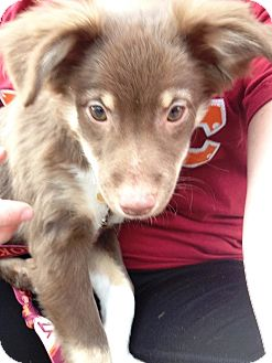 Papillon/Chihuahua Mix Puppy for adoption in Radford, Virginia - Emma