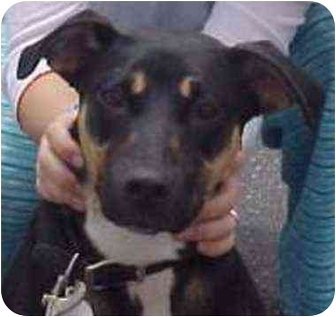 Doberman Pinscher/German Shepherd Dog Mix Dog for adoption in West Los Angeles, California - Hercules