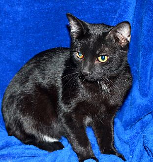 Domestic Shorthair Cat for adoption in Laingsburg, Michigan - Speedo