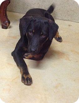 Labrador Retriever/Rottweiler Mix Dog for adoption in Westport, Connecticut - Joe