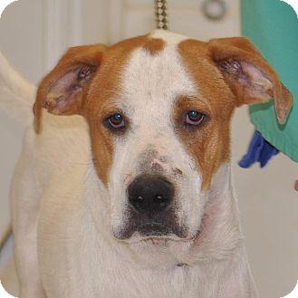St. Bernard Mix Dog for adoption in Sunrise Beach, Missouri - Junior