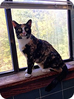 Calico Cat for adoption in Bedford Hills, New York - Scarlet