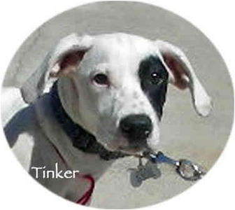 Dalmatian Mix Puppy for adoption in Mandeville Canyon, California - Tinker