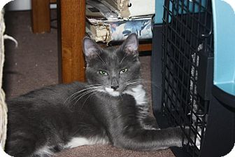 Domestic Mediumhair Cat for adoption in Little Falls, New Jersey - Dakota (LE)