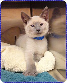 Siamese Kitten for adoption in Marietta, Georgia - MERIS - available 11/26