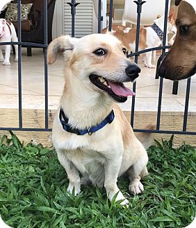 Corgi Mix Dog for adoption in Brooklyn, New York - Sebastian