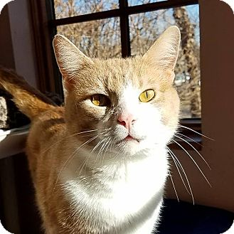 Domestic Shorthair Cat for adoption in Ann Arbor, Michigan - Rudy