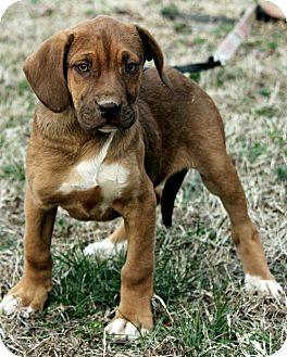 Bloodhound Mix Puppy for adoption in Harrisonburg, Virginia - Mikey