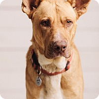 Adopt A Pet :: Tyson Bear - Portland, OR