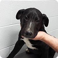 Adopt A Pet :: Dodge - Paducah, KY