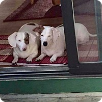 Adopt A Pet :: Ollie and Annie siblings - York, SC