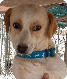 Dachshund Mix Puppy for adoption in Las Vegas, Nevada - Kona