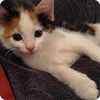 Adopt A Pet :: Felicia - Lombard, IL