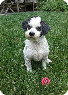 Poodle (Miniature)/Terrier (Unknown Type, Small) Mix Dog for adoption in Emeryville, California - FRED