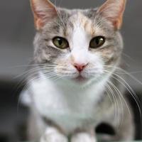 Domestic Shorthair/Domestic Shorthair Mix Cat for adoption in Richmond, Indiana - Zuzu