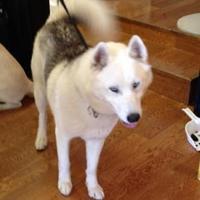 Adopt A Pet :: Luka - Garland, TX