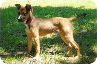 Siberian Husky/Shepherd (Unknown Type) Mix Puppy for adoption in Peachtree City, Georgia - Guinevere