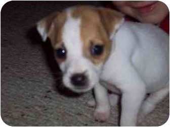 Jack Russell Terrier Dog for adoption in Louisville, Kentucky - Jackie