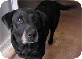 Labrador Retriever Dog for adoption in San Diego, California - BUCK