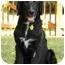 Photo 1 - Golden Retriever/Labrador Retriever Mix Dog for adoption in Hagerstown, Maryland - Brodie