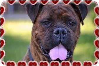 Bullmastiff Dog for adoption in Phoenix, Arizona - Holly