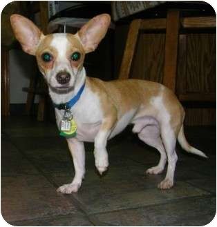 Chihuahua Dog for adoption in Mount Gretna, Pennsylvania - Bruce