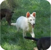 German Shepherd Dog Puppy for adoption in Antioch, Illinois - Storm ADOPTED!!