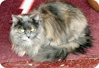 Domestic Mediumhair Cat for adoption in Fairbury, Nebraska - Zazzle