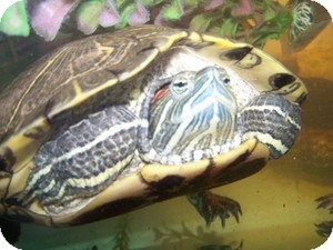 Turtle - Water for adoption in Quilcene, Washington - Fluffy, Furry & Hairy