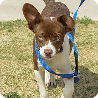 Chihuahua/Terrier (Unknown Type, Small) Mix Puppy for adoption in Stillwater, Oklahoma - Timmy