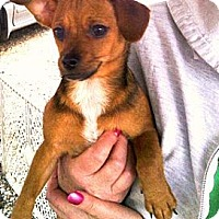 Adopt A Pet :: Snoopy - maryville, TN