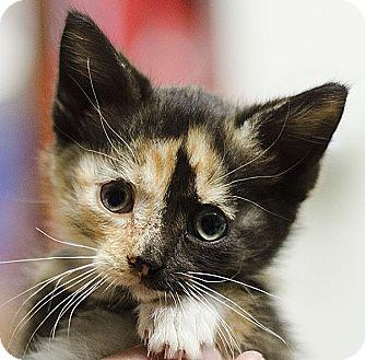 Calico Kitten for adoption in Adrian, Michigan - Spice